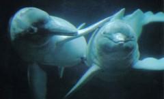 http://commons.wikimedia.org/wiki/File:Amazonas_Flussdelfin_Apure_Orinoco_Duisburg_07.jpg