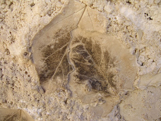 Fossilized Leaves in Travertine