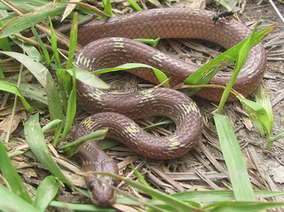 Common House Snake