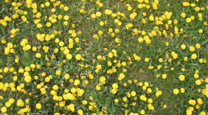 Lawn With Hundreds of Dandelions