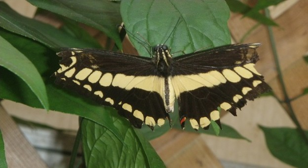 Black and Yellow Butterfly on a Leaf